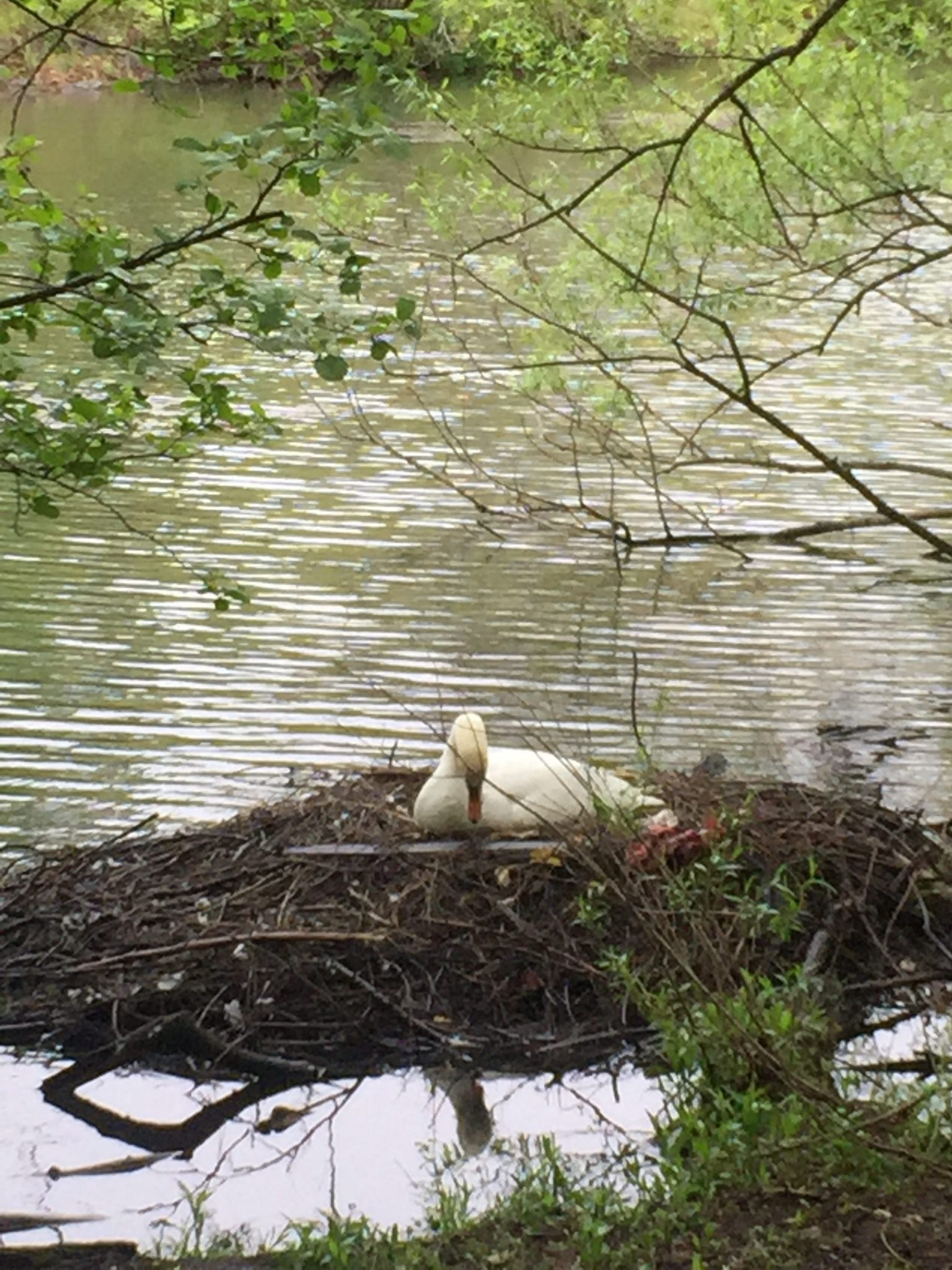 贝赛公园一只正在孵蛋的天鹅